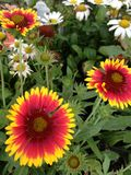 Röd-guling och vita tusenskönor Fotografering för Bildbyråer