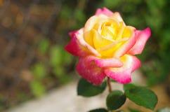 Röd-guling rosnärbild Royaltyfri Foto