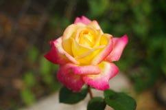 Röd-guling rosnärbild Fotografering för Bildbyråer