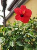 Röd gumamela, hibiskusblomma arkivfoto