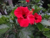 Röd gumamelablomma Fotografering för Bildbyråer
