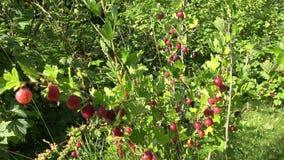 Röd gunga för krusbärbuske i sommarträdgård 4K lager videofilmer
