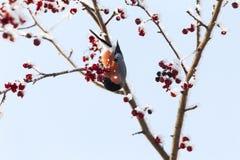 Röd härlig domherre på trädet siberia Royaltyfri Fotografi