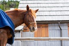 Röd härlig häststående som ser i kameran arkivfoton