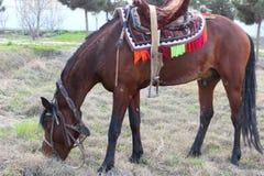 Röd häst Arkivbilder