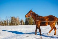 Röd häst i ett snöig fält för vinter arkivbild