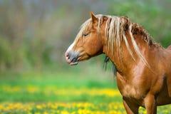 Röd häst i gula blommor Fotografering för Bildbyråer
