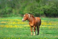 Röd häst i gula blommor Royaltyfria Bilder