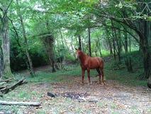 Röd häst i skogen Arkivbilder