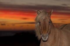Röd häst II Royaltyfri Foto