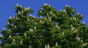 Röd häst-kastanj, Aesculuscarnea, hybrid- Aesculushippocastanum, royaltyfria foton