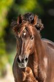 Röd häst med lång man Royaltyfria Foton