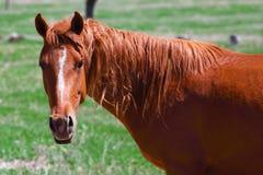 Röd häst på den gröna ängen Arkivfoto
