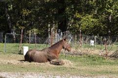 Röd häst som har rullat i gyttjan som framme ligger förutom hö och ett gammalt trådstaket av träd royaltyfri fotografi