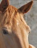 Röd hästblickcloseup Royaltyfri Foto