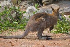 Röd-hånglad vallaby eller Macropusrufogriseus royaltyfri foto