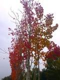 Röd höst björk, härligt träd fotografering för bildbyråer