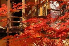 Röd höstnedgång för japansk lönn Royaltyfria Foton