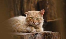 Röd-hövdad katt Royaltyfria Foton