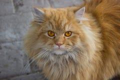 Röd-hövdad katt royaltyfri foto