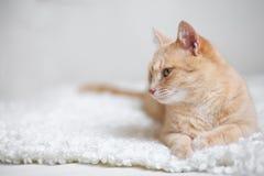 Röd-hövdad katt Fotografering för Bildbyråer