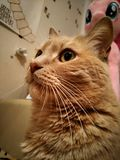 Röd-hövdad katt Royaltyfria Bilder