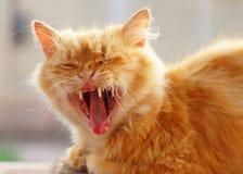 Röd-hövdad katt Arkivbilder
