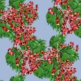 Röd hagtorn, blå bakgrundsvattenfärg för filial Royaltyfria Bilder