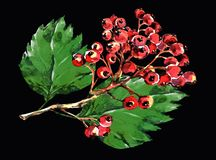 Röd hagtorn, svart bakgrundsvattenfärg för filial Royaltyfri Bild