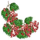 Röd hagtorn, vit bakgrundsvattenfärg för filial Fotografering för Bildbyråer