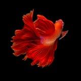 Röd Halfmoon Betta för lång svans eller Siamese stridighetfisksimning I arkivbild