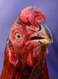 Röd hane Royaltyfria Bilder