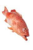 Röd havsaborre royaltyfri fotografi
