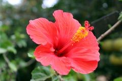 Röd hebiscous blomma Royaltyfria Foton