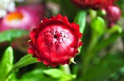 Röd helichrysumblomma Arkivbilder
