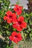 Röd hibiskus Arkivfoto