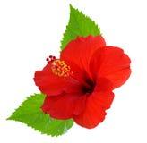 Röd hibiskus Arkivfoton