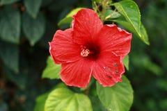 Röd hibiskus Royaltyfri Bild