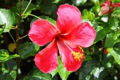 Röd hibiskus Arkivbild