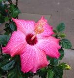 Röd hibiskus Fotografering för Bildbyråer