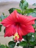 Röd hibiskus Royaltyfri Foto