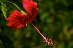 Röd hibiskus Arkivbilder