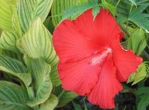 Röd hibiskus 2 Royaltyfria Bilder