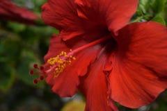 Röd hibiskus Royaltyfria Foton