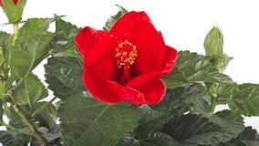 Röd hibiskus, blommaöppning arkivfilmer