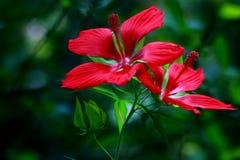 Röd hibiskus Coccineus Arkivfoto