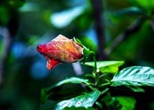 Röd hibiskus för blommaknopp Royaltyfri Bild