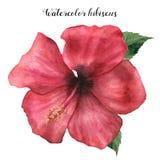 Röd hibiskus för vattenfärg Handen målade den exotiska blom- illustrationen med sidor på vit bakgrund Vändkretsblomma vektor illustrationer
