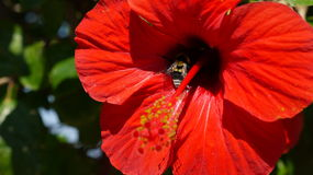 Röd hibiskus med ett bi Royaltyfria Bilder