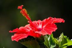 Röd hibiskus med grön bokeh Arkivfoto